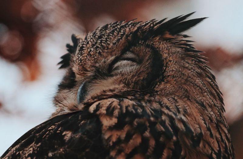 Animal Themes Animal Animals In The Wild Sleeping Animal Owl Owl Photography Owl Art Nature_collection Nature Photography Naturelovers Nature On Your Doorstep Zoo Animals  Zoophotography Bird Photography Birds Of EyeEm  Forest Animal