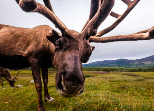 Seriously -you don't take a photo now Cairngorms Cairngorms National Park Cairngorms, Scotland  Reindeer Reindeer Sighting Scotland Highlands Animals In The Wild Close Up Close-up Grass Looking At Camera Mammal Nature One Animal Outdoors Portrait Reindeer Antlers