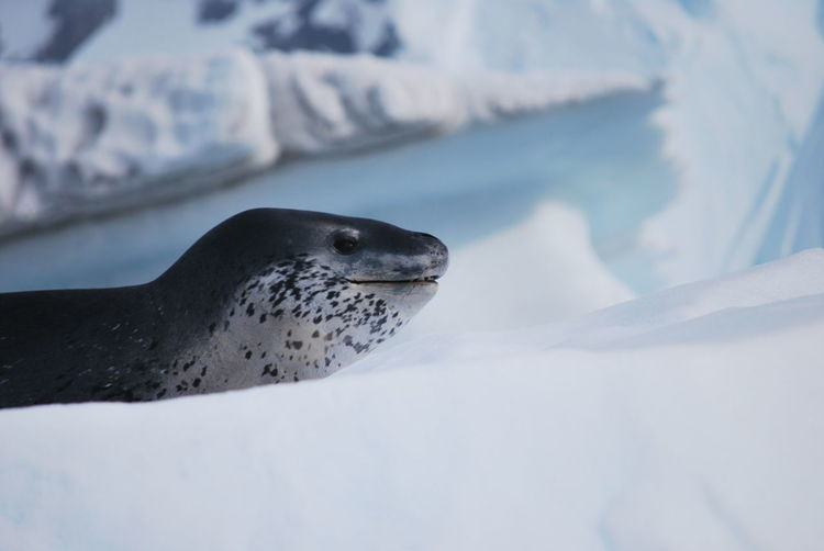 Close-Up Of Seal On Snow