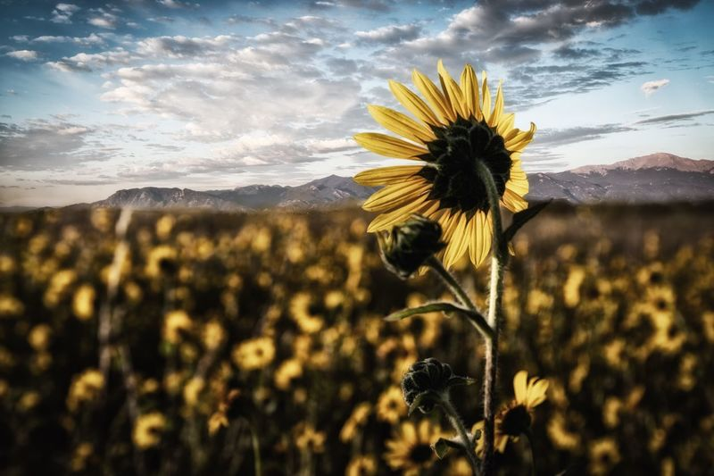 Sentinel Flower Plant Flowering Plant Beauty In Nature Sky Growth Vulnerability  Nature Fragility Freshness Yellow Cloud - Sky Inflorescence Flower Head No People Close-up Field Sunflower Land Focus On Foreground