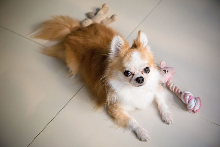 Chihuahua dog with his toys One Animal Dog Canine Domestic Animal Animal Themes Pets Mammal Domestic Animals Indoors  Lap Dog Flooring Small High Angle View No People Cute Full Length Portrait Pomeranian Looking Away Tiled Floor Chihuahua - Dog Chihuahua Chihuahualovers Dog With Toy