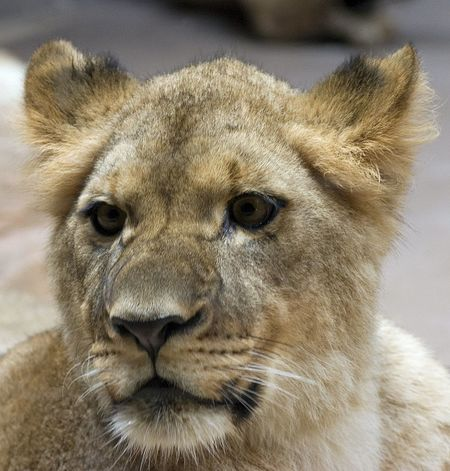 Animal Head  Animal Themes Animal Wildlife Animals In The Wild Close-up Day Focus On Foreground Lion - Feline Lioness Looking At Camera Mammal Nature No People One Animal Outdoors Portrait