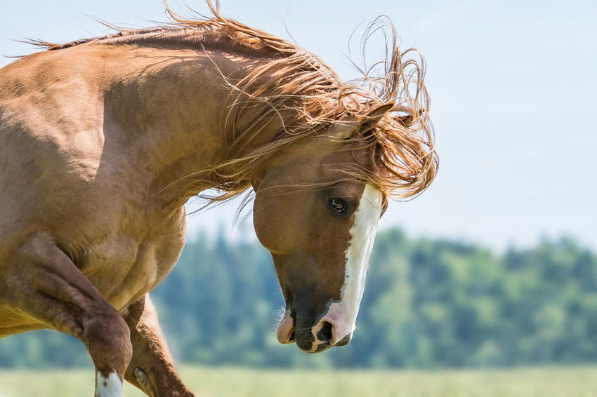 Action Activity Beauty In Nature Brown Close-up Criollo Focus On Foreground Hengst Horse Horse Photography  One Animal