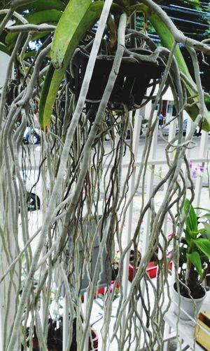 Taking Photos Roots Orchid Vanda
