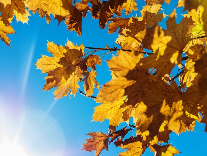Season  Change Autumn Low Angle View Leaf Beauty In Nature Tree Scenics Tranquility Sunbeam Sunlight Nature Blue Clear Sky Maple Leaf Tranquil Scene Outdoors Early Fall Enjoying Life