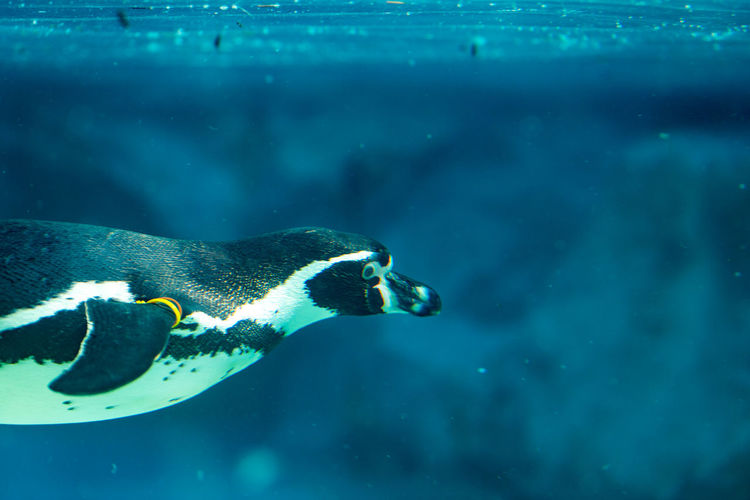 Penguin Swimming underwater Animal Themes Underwater Water Sea Animal Swimming Animals In The Wild One Animal Animal Wildlife Vertebrate Fish Marine Sea Life Animals In Captivity UnderSea Nature Aquarium No People Tank Penguin