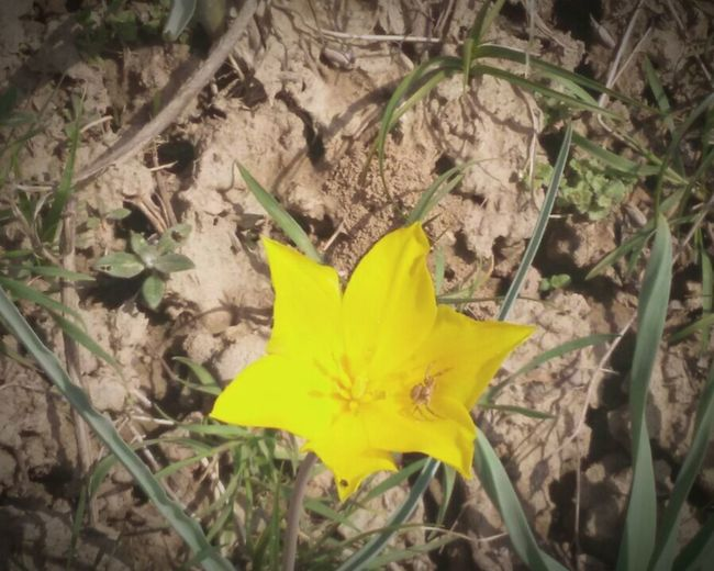 Urban Spring Fever Yellow Tulip Mountains Almaty, Kazakhstan Little Spider