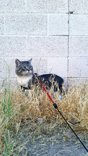 Cat walking on a leash in the midst of tall grasses; while observing the sights and listening to the sounds of birds. Cat Grey, Black And White Cat Tabby Cat Tabby Outside Outdoors Grass Dead Grass New Grass Leash Red LeashCat Walking Cat Walking On A Leash Brick Wall Summer The Essence Of Summer The Great Outdoors - 2016 EyeEm Awards