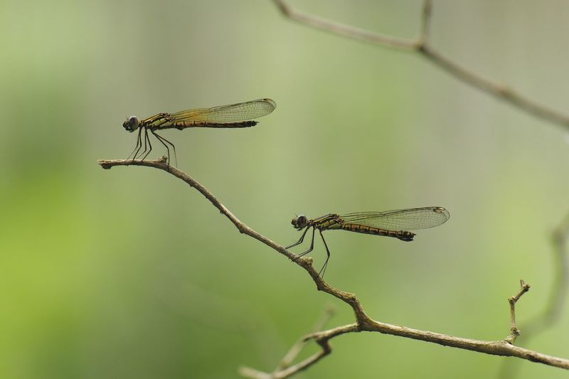 Close-up of damselfly perching on leaf