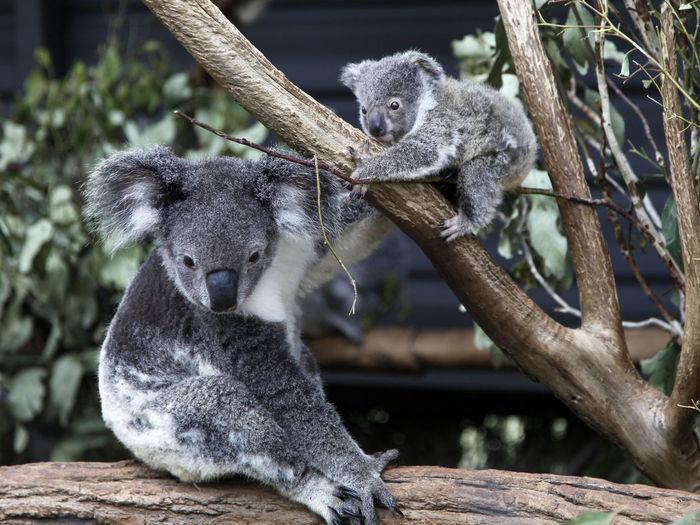 Close-up of koalas