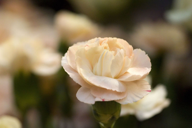 Field of cloves Beauty In Nature Blooming Close-up Cloves Day Flower Flower Head Flowers Focus On Foreground Fragility Freshness Growth Macro Nature No People Outdoors Petal Plant Rose - Flower White Color