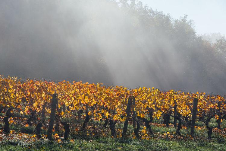 Vineyards on autumn against sky.