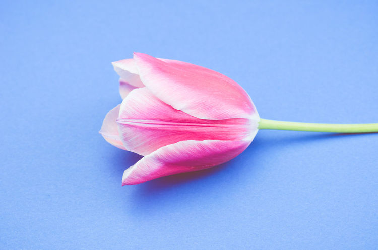 tulip still life - light blue background Beauty In Nature Blue Blue Background Close-up Colored Background Copy Space Flower Flower Head Flowering Plant Fragility Freshness Indoors  Inflorescence No People Petal Pink Color Plant Softness Still Life Studio Shot Tulip Vulnerability