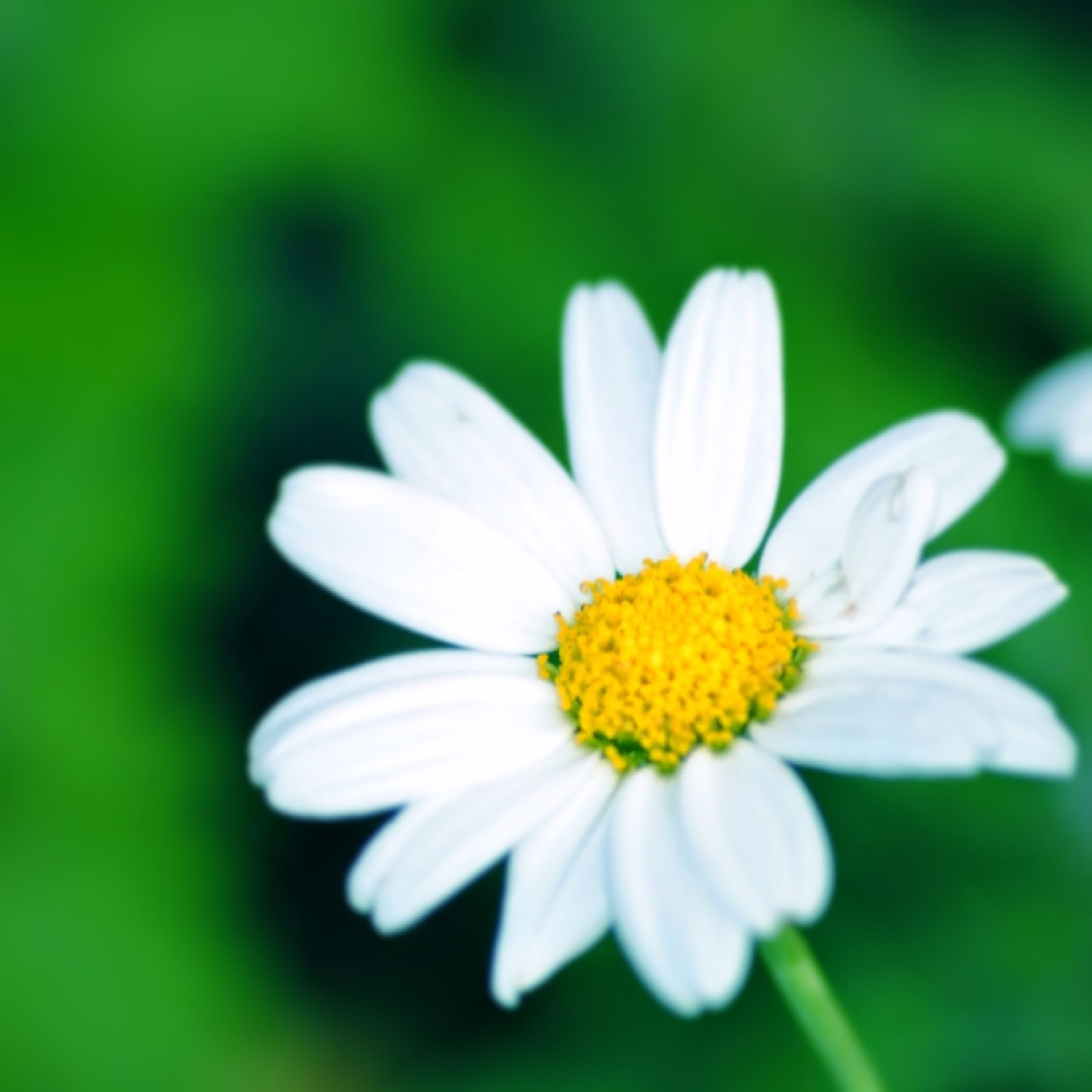 flower, petal, freshness, flower head, fragility, white color, yellow, beauty in nature, close-up, growth, daisy, focus on foreground, pollen, nature, blooming, single flower, selective focus, white, plant, outdoors