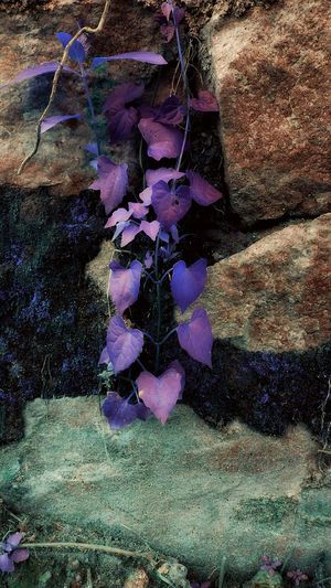 TakeoverContrast Purple Petal Saturation Saturated Color Saturated Color Edits Rocks Leaves Creeper Plant Rockwalls PixlrEffects Pixlredit Outdoors Vibrant Color