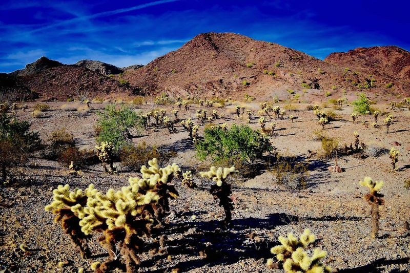 Cholla cactus growing in the desert