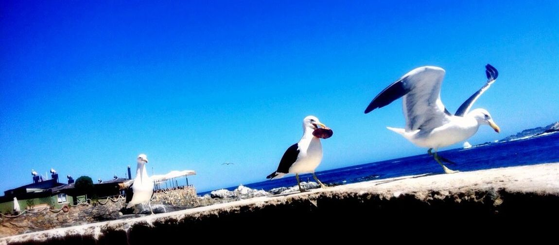 Gaviotas :) Taking Photos Zapallar Birds EyeEm