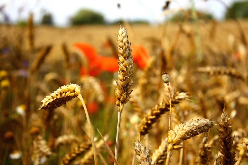 Ear wheats wheat Nature Field Focus On Foreground Growth Wheat Cereal Plant Grass Flower Head Agriculture Plant Summer fall Flower Day Autumn Autumn Colors