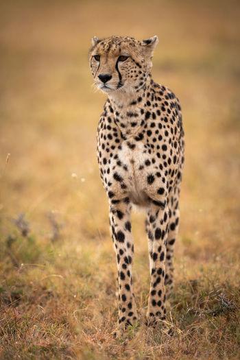 Cheetah on grassy field