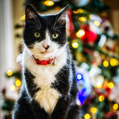 ©️Amy Boyle Photography Christmas Lights Christmas Tree Pets One Animal Domestic Animals Domestic Cat Animal Themes Mammal Focus On Foreground Feline No People Portrait Looking At Camera Whisker Close-up Indoors  Day