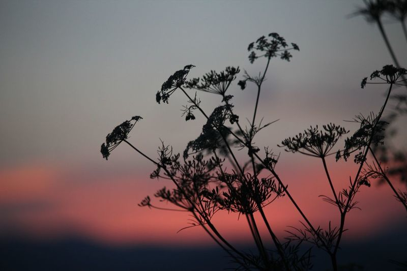 Silhouette of grass Sky Sunset Plant Beauty In Nature Silhouette Tranquility Nature Tree Growth No People Low Angle View Branch Cloud - Sky Tranquil Scene Dusk Scenics - Nature Outdoors Idyllic Flower Flowering Plant