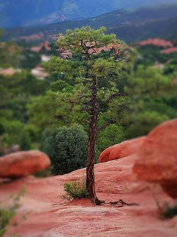 Tree Tranquility Growth Nature Outdoors Beauty In Nature Scenics Great Outdoors Colorado Garden Of The Gods S7 Edge Photography Red Rocks  Tree Beauty Around Me Check This Out Place Of Heart