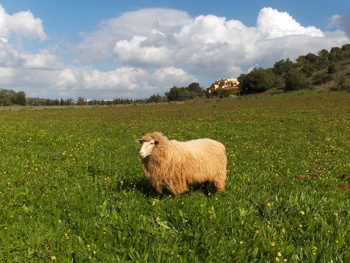 Sheep grazing on grassy field against cloudy sky