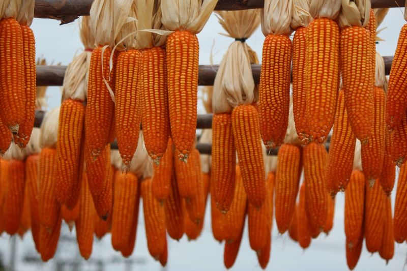 Maize Cornkernels Cornhuskers Orange Color No People Corn On The Cob Close-up Healthy Eating Day Outdoors Freshness Food Market