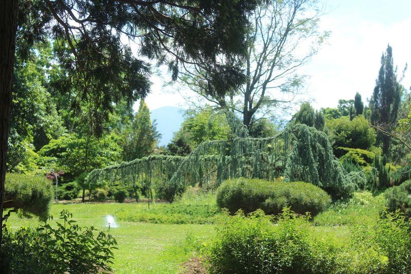 Yalova Trees Darkgreen Arberotom