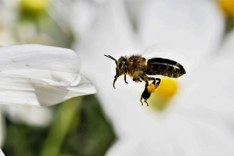 Black on white Animal Animal Themes Animal Wildlife Animals In The Wild Beauty In Nature Bee Black Bee Close-up Day Flower Flower Head Flowering Plant Fragility Freshness Insect Invertebrate Nature No People One Animal Outdoors Petal Pollen Pollination Selective Focus White Color