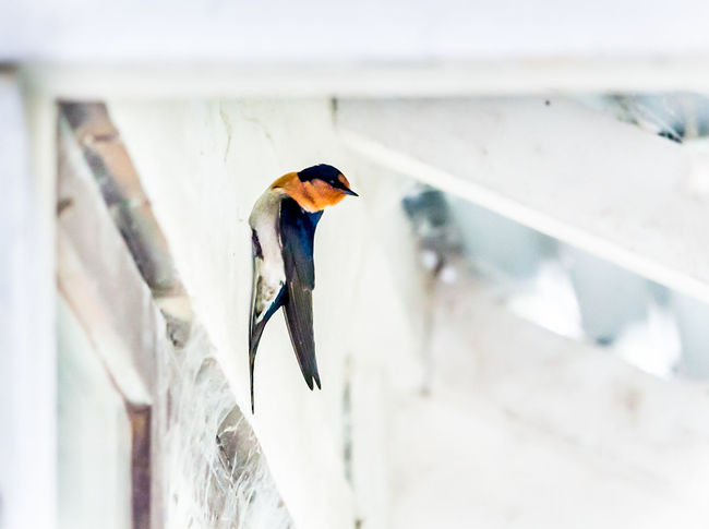 Animal Wildlife No People Bird Swallow White Background Crisp Fresh Colour Pop Wildlife Bird Photography Fineartphotograhy Rural Country Perched Bird Eaves EyeEmNewHere