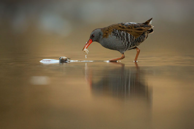 Waterrail at sunrise foraging Rallus Aquaticus Rascón Europeo Râle D'eau Wasserralle Animal Themes Animal Wildlife Animals In The Wild Bird Day Foraging Foraging For Food Golden Light Nature No People One Animal Outdoors Reflection Water Water Rail