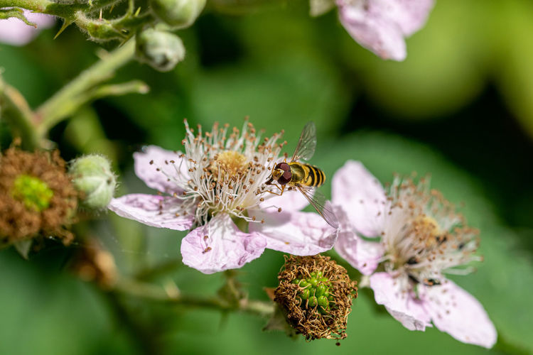 Sphaerophoria scripta, long hoverfly, on flower of wild blackberry flower