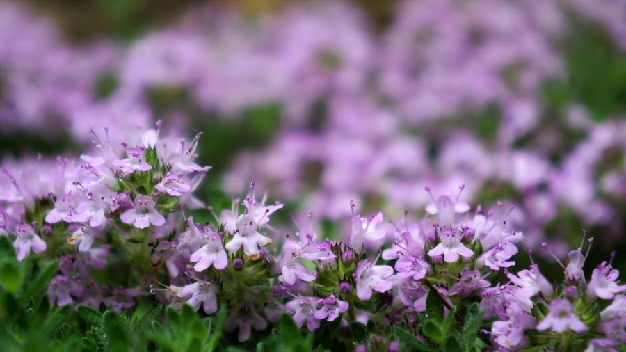Spring is near! Copy Space Purple Purple Flower Pink Color Pastel Springtime Spring Green Color Macro Photography Macro Tiny Selective Focus Low Angle View Foreground Focus Full Frame Lavender Colored In Bloom Flowering Plant Blossom Plant Life Stamen Botany Blooming