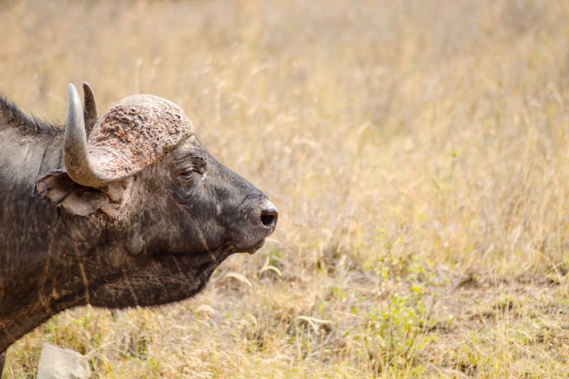 Animal Themes Animal Animal Wildlife One Animal Animals In The Wild Mammal Nature No People Field Horned Vertebrate Outdoors Herbivorous Animal Head  Profile View Focus On Foreground Portrait Nairobi National Park Kenya African Safari Buffalo Buffle