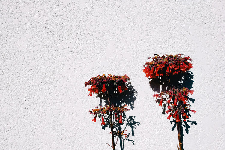 Close-up of red flowering plant against wall