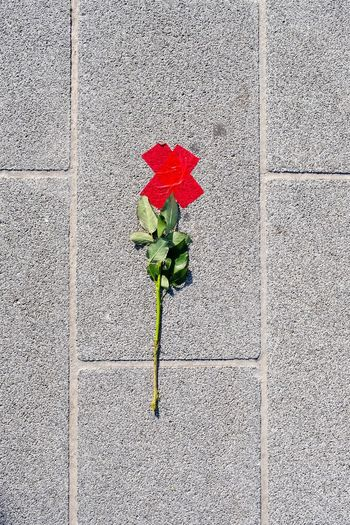 High angle view of rose on footpath