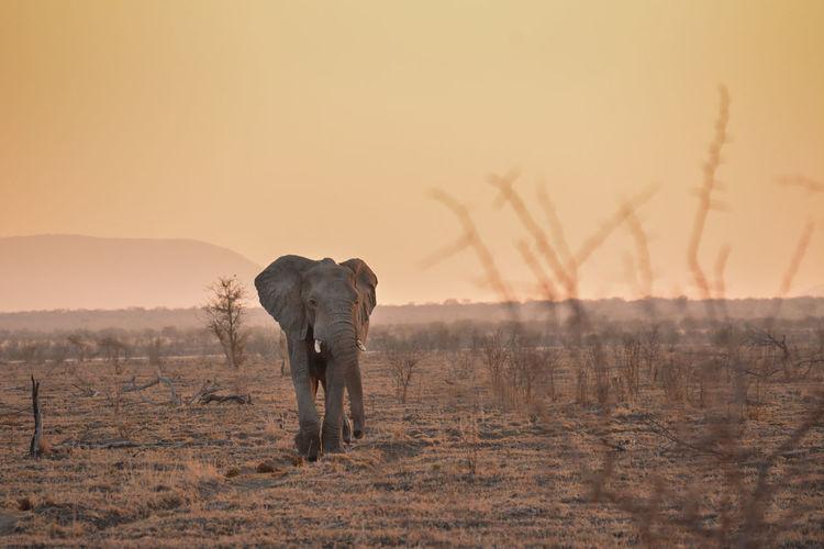 Elephant on land during sunset