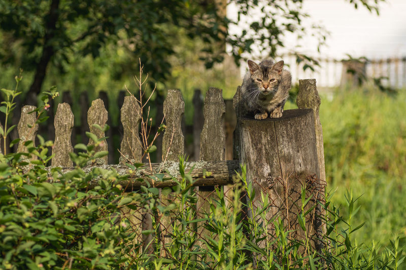 Cat sits on an old fence in a village in Poland Cat Sitting Fence Hoarding Old Village Countryside Garden Grass Green Wild Cat Kitten Look Nature Growth No People Outdoors Plant Day Grass