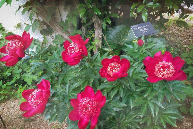 'ニッポンビューテー' という名の花 … どうだ⁉︎ Flower named the 'Nippon Beauty' Beauty In Nature Flowers :) Peaonia Lactiflora シャクヤクの花