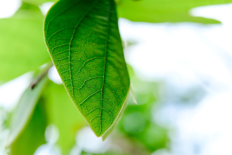 Leaf Plant Part Green Color Close-up Plant Focus On Foreground Nature Beauty In Nature Growth No People Selective Focus Freshness Leaf Vein Outdoors Tree Macro Day Vulnerability  Fragility Extreme Close-up Brightly Lit