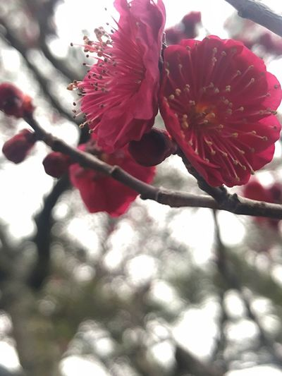 Plant Flower Flowering Plant Beauty In Nature Growth Freshness Fragility Vulnerability  Inflorescence Close-up Blossom Petal Springtime Day No People Nature Red Flower Head Tree Branch