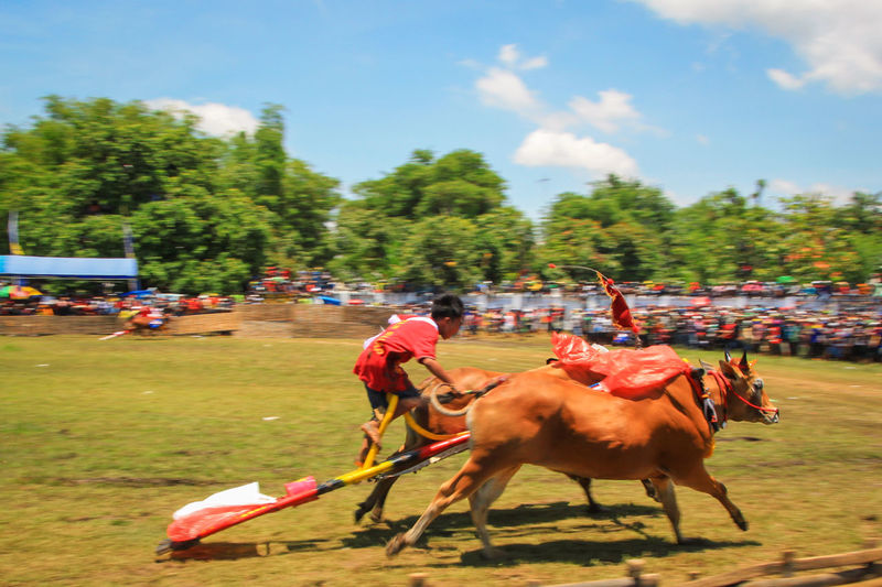 Competition Traditional Karapan Sapi Indonesia Culture Cultures Culture And Tradition Heritage Cultural Heritage Traditional Culture Madura Traditional Racing Bull Racing Live For The Story
