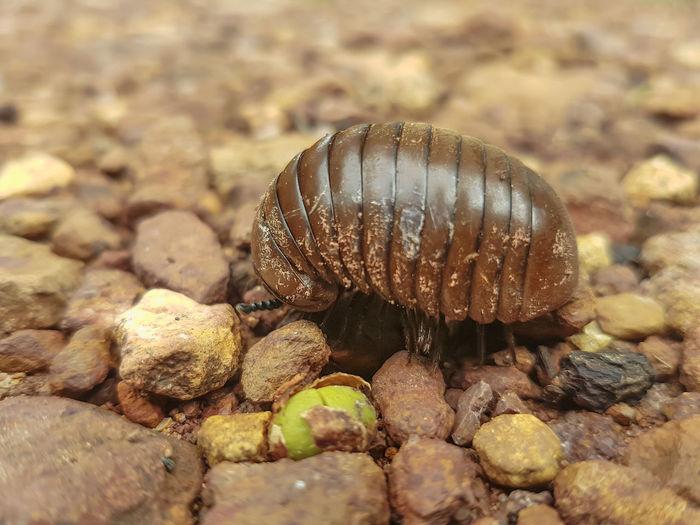 Millipede is walking on the floor. Brown Skinned Beauty Life Stones Animal Floor Legs Millipede Walking