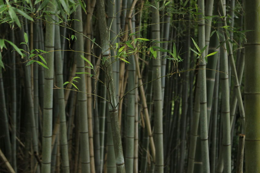 Beauty In Nature Forest Bamboo - Plant Bamboo Grove Day Freshness Outdoors Nature Japan