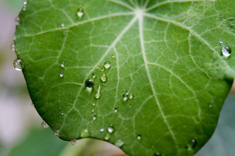 Beads Of Water Chlorophyll Close Up Freshness Green Healthy Eating Kapuzinekresse Leaf Macro Nasturtium Natural Nature Rain Water Water Beads Wet Wet Leaf