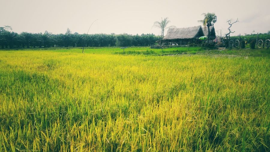 Rice fields and cottages. Rice Field Ricefield View Tree Rural Scene Agriculture Yellow Field Crop  Sky Grass Landscape