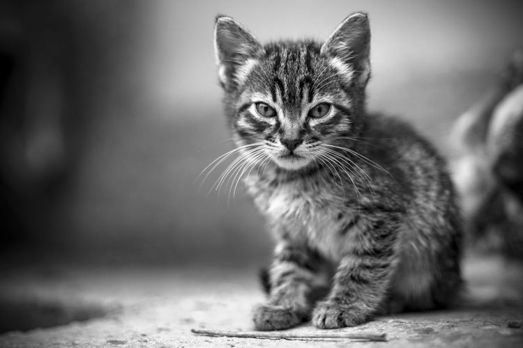 Cat Mammal Pets One Animal Feline Domestic Domestic Animals Domestic Cat Portrait Looking At Camera No People Whisker Young Animal Focus On Foreground Vertebrate Sitting Day Tabby Animal Eye Blackandwhite