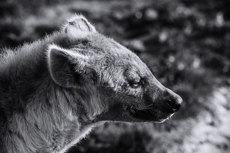 Hyena is looking forward Landscape Animals In The Wild Face Hyena EyeEm Selects One Animal Animal Animal Themes Vertebrate Animal Body Part Animal Head  Dog Animal Wildlife Animals In The Wild Focus On Foreground Looking Looking Away Outdoors Day