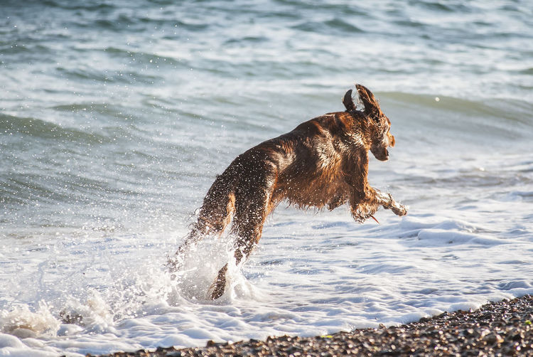 Chasing Waves Dog Irishsetter Redsetter Dog Domestic Animals Sea Waves Beach Pebbles Southsea Portsmouth Hampshire  England Water Wave Sea Beach